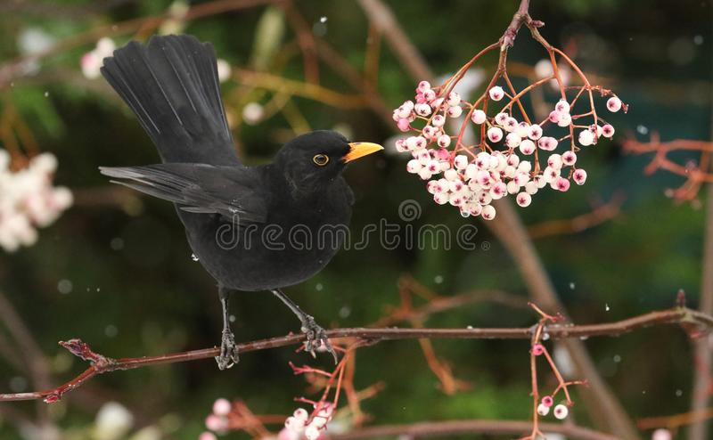 A winter scene of a stunning male Blackbird Turdus merula perched on a branch of a mountain Ash tree in a snowstorm. It has been stock photo