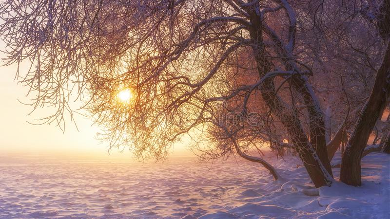 Winter scene in sunshine. Snowy nature. Vibrant landscape of frosty winter in pink sunlight. Merry Christmas background royalty free stock photo