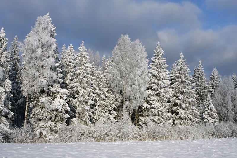 Winter scene with Trees royalty free stock photo