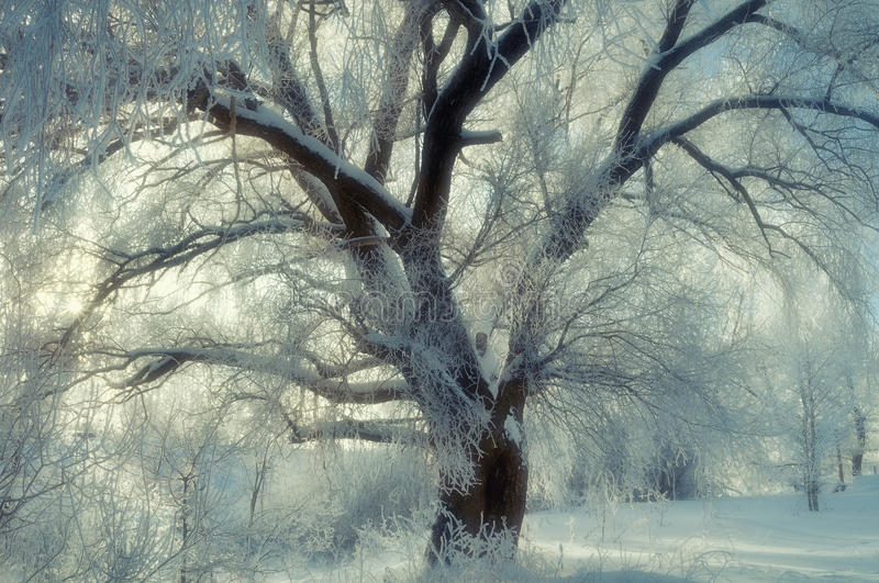 Winter scene - wonderland frosty tree in cold winter weather in winter forest. Winter landscape - spreading winter tree in sunset. Winter scene - wonderland royalty free stock photography
