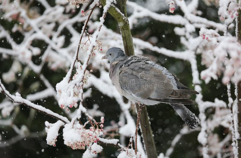A winter scene of a Woodpigeon Columba palumbus perched on a branch of a mountain Ash tree in a snowstorm. It has been feeding o. Winter scene of a Woodpigeon royalty free stock image