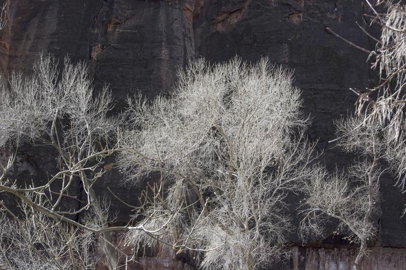Cottonwood Trees in Winter with Silvery Branches and Dark Background of Redrock Cliffs stock images