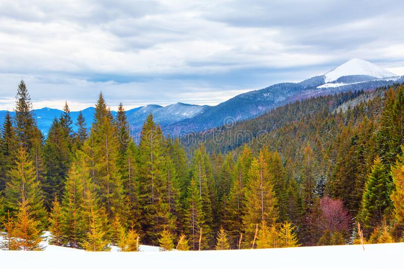 Winter scenery with pines. And mountains stock photography