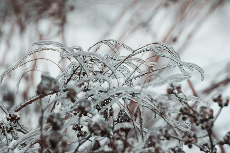 Winter scenery: plants covered with ice stock photography