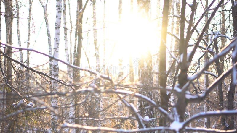 Winter, schneebedeckter Wald im Sonnenuntergang, Weihnachtshintergrund Winterwaldlandschaft und die Sonne, die aus Baumstämme her stockbild