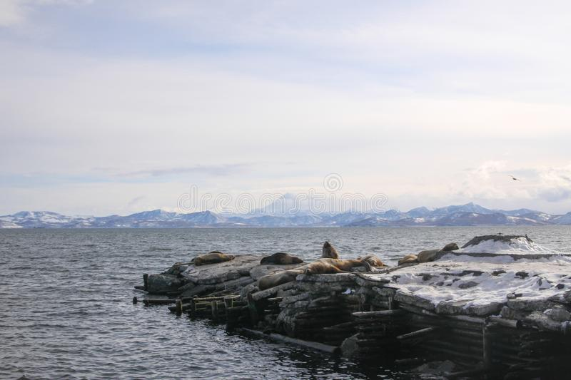 Winter seascape with rookery of Northern Sea Lion o. Winter seadscape with rookery of Northern Sea Lion or Steller Sea Lion Eumetopias Jubatus. Avacha Bay royalty free stock photography