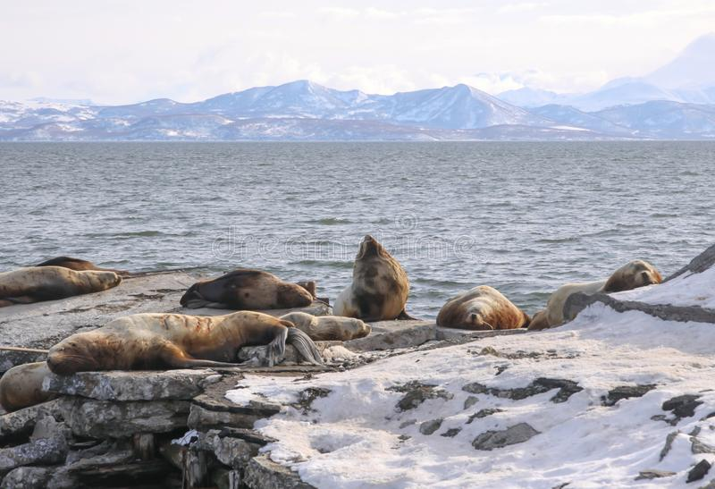 Winter seascape with rookery of northern sea lion. Or Steller Sea Lion Eumetopias Jubatus. Avacha Bay, Petropavlovsk-Kamchatsky, Kamchatka Peninsula, Russia royalty free stock photos