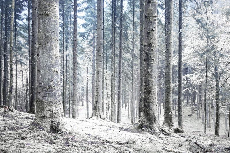 Winter season cold snowy forest. Beautiful winter season cold snowy forest landscape stock photo