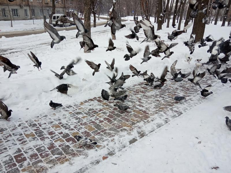 Winter season. Flying pigeons. Park in the snow. Landscape in the park with birds. Photo black and white. Cityscape stock photography