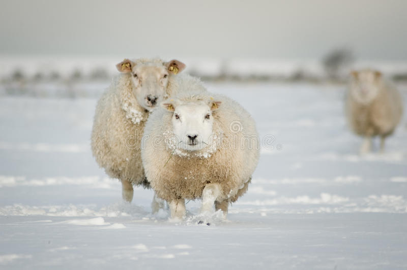 Winter sheep in snow. Two sheep standing in a snowy winter meadow stock images