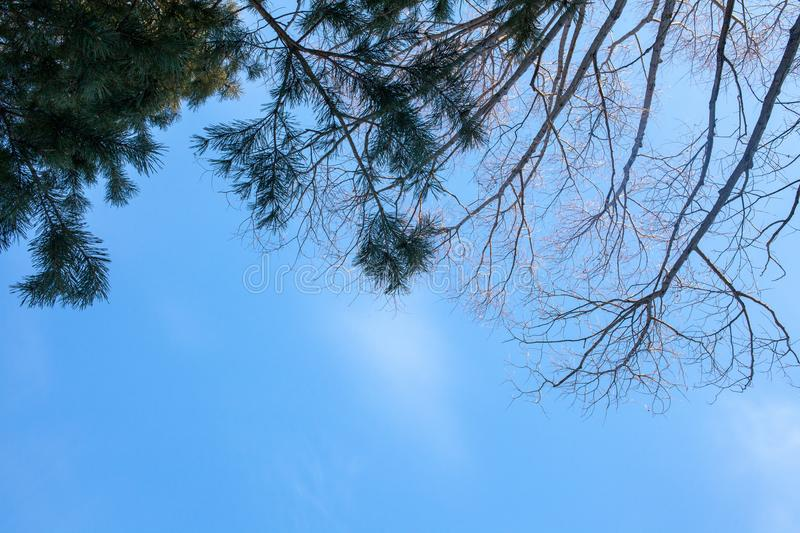 Winter sky and the tops of the pines stock image