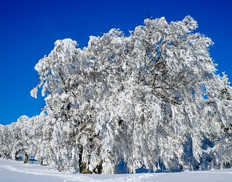 Winter, Snow, Blue, Tree stock image