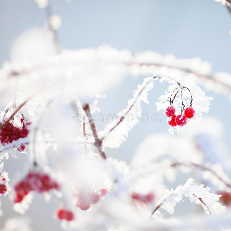 Winter, snow at the branches with berries. Winter day, snow at the branches with berries royalty free stock image