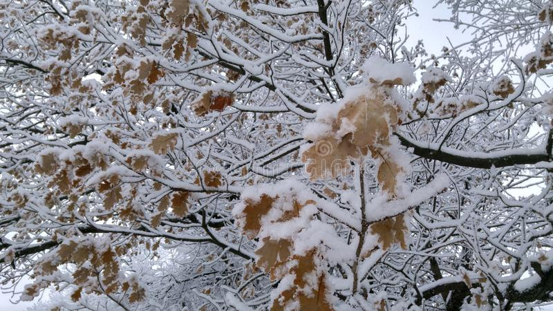 Snow on the oak branches. Winter. Snow on the branches stock photos