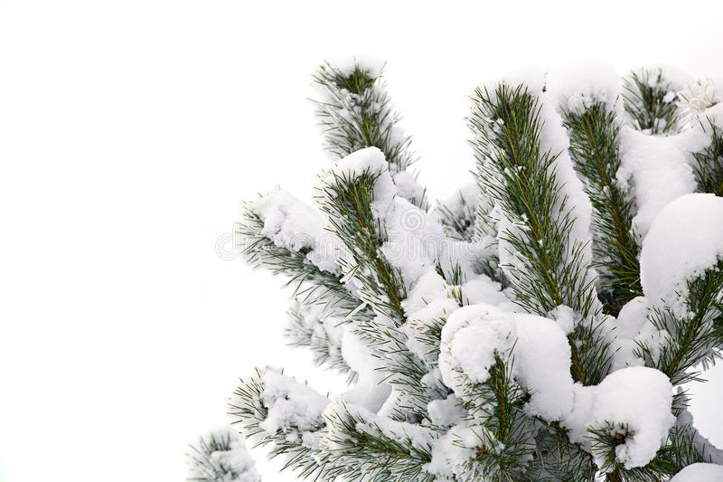 Winter snow christmas trees. Winter christmas tree snow tree on white background royalty free stock photos