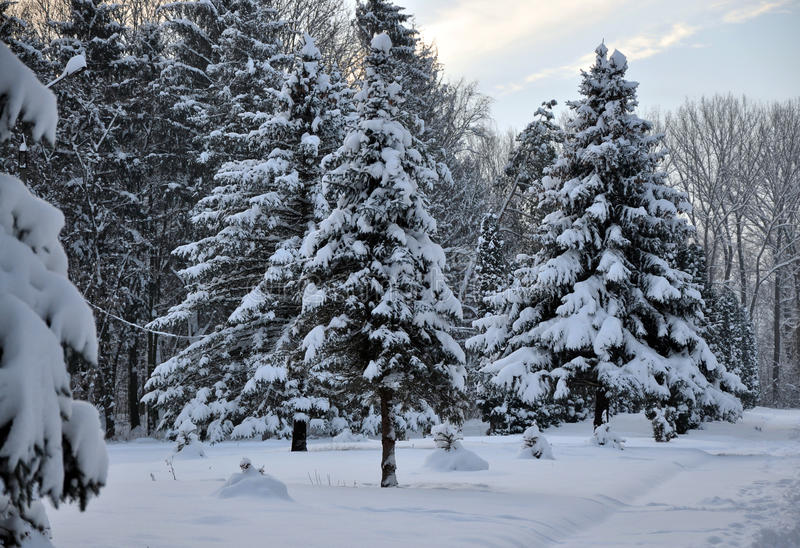 Download Winter Snow Covered Fir Stock Photo - Image: 83705009