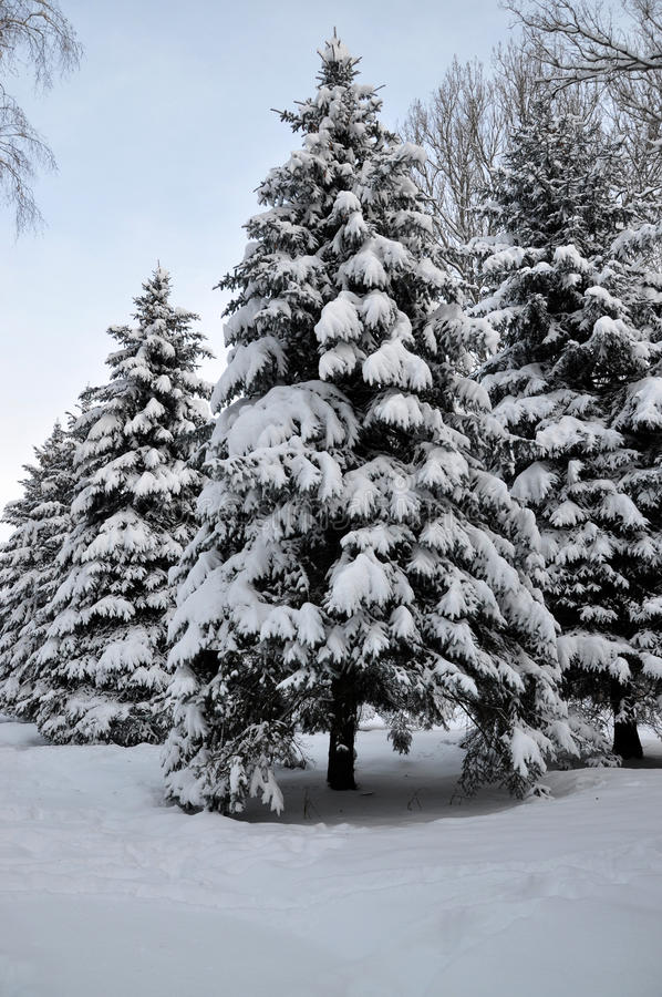 Download Winter snow covered fir stock image. Image of landscape - 83705099