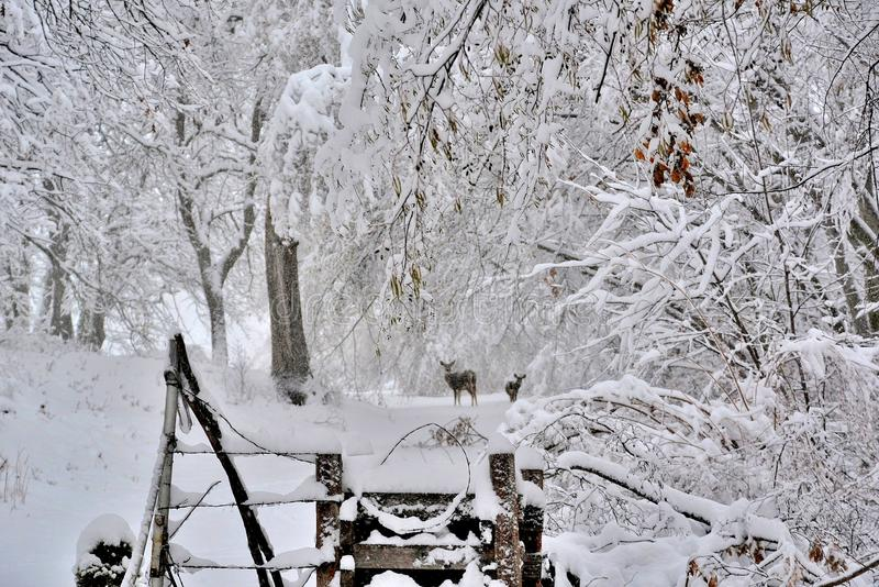 Winter Snow with deer on a country road stock photography