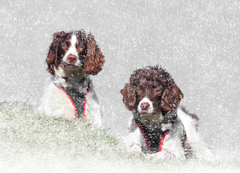 Winter snow dogs. Two dogs enjoying Winter snow