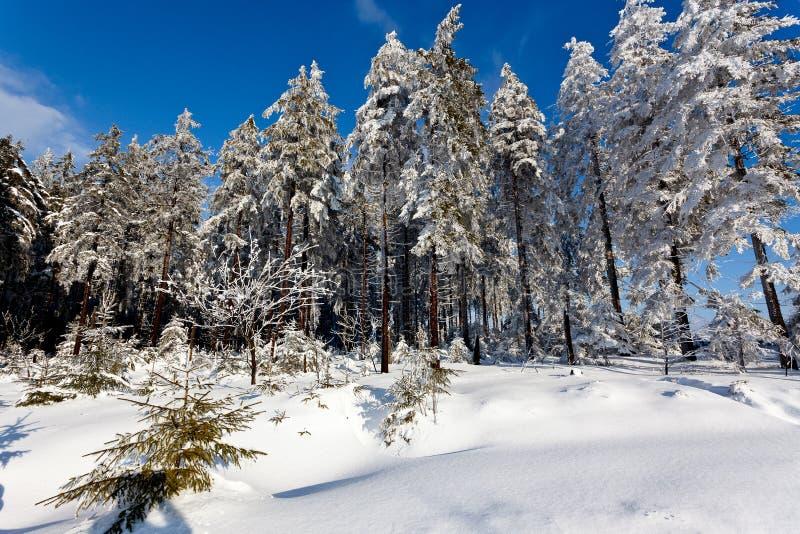 Winter snow landscape, pine trees, High Fens, Belgium royalty free stock image