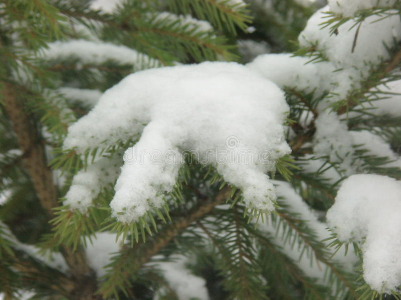 Winter snow season picea abies fir-tree wood stock images