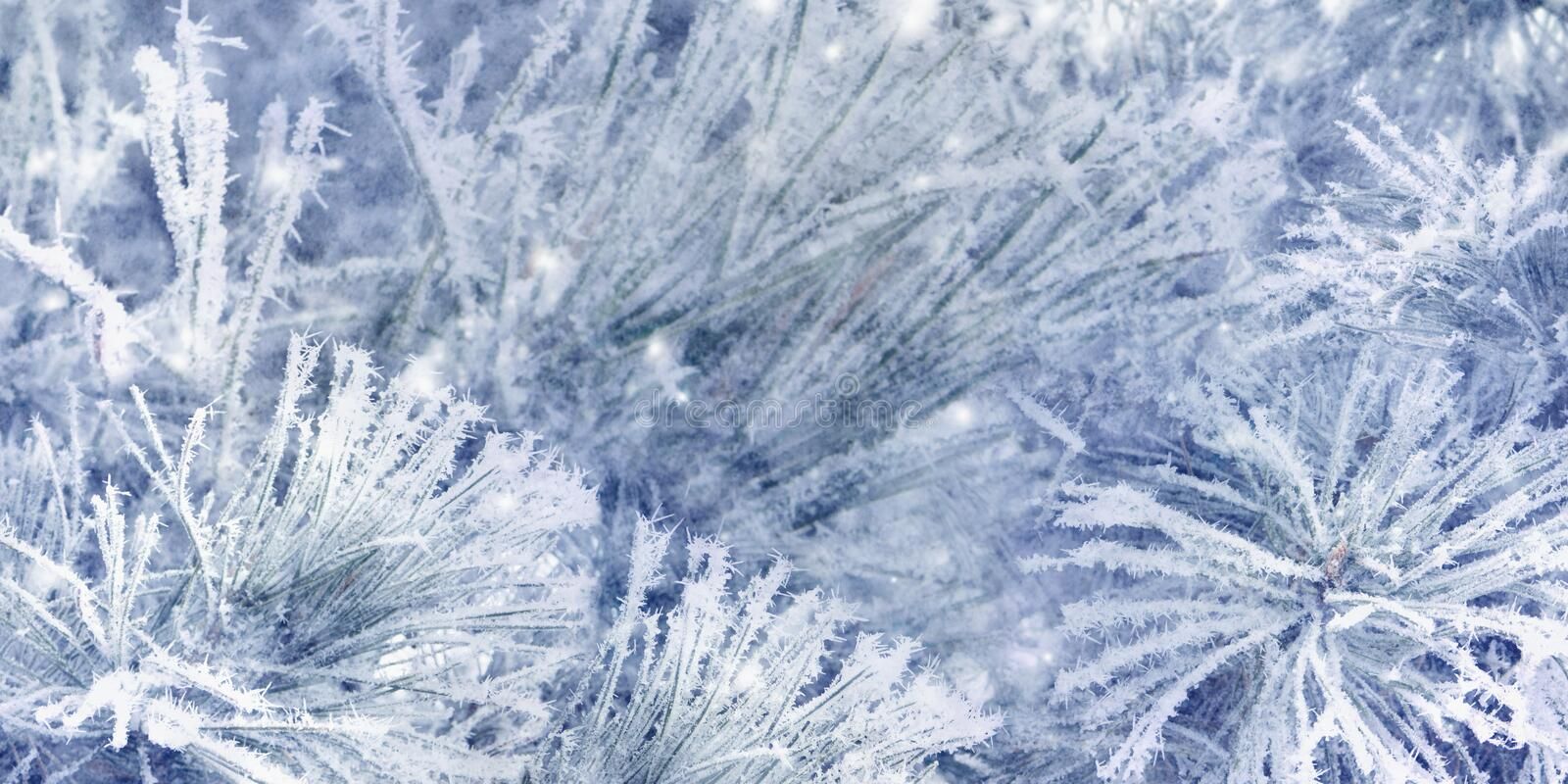 Beautiful snow spruce tree branches covered with frost, close-up. Blue Christmas background. royalty free stock image