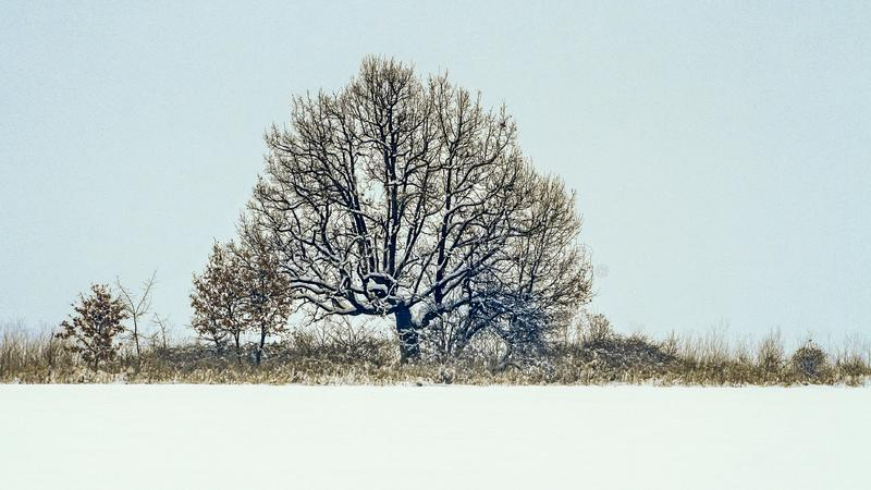 Winter snow theme landscape with a powerful ancient oak tree at a border royalty free stock photography
