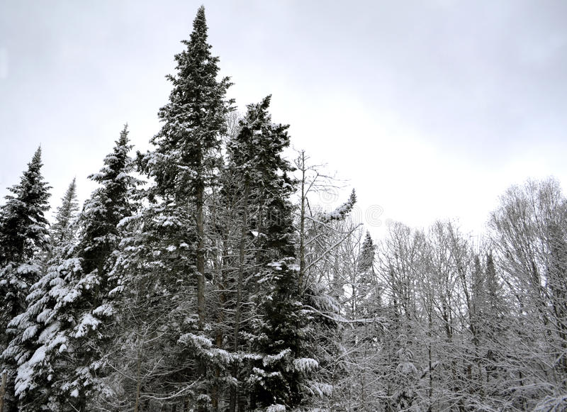 Winter Snow on Tree Branches Two stock photography