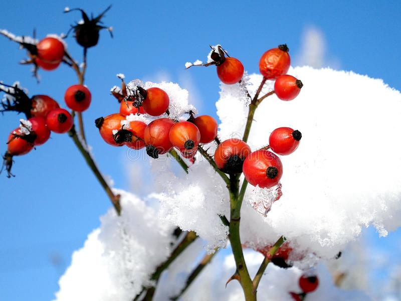 Red berries of rosehip in snow caps on a background of a blue sky. Winter snow white red berries rosehip branch blue sky cold landscape nature plant city beauty stock photos