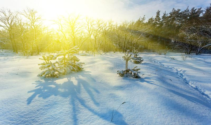 Winter snowbound pine forest at the sunset stock images