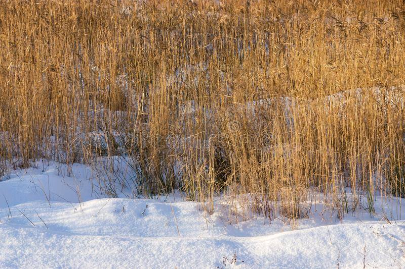 Winter snowdrifts of snow and old dry reed. Winter landscape from snowdrifts and an old dry cane and a sedge stock photo