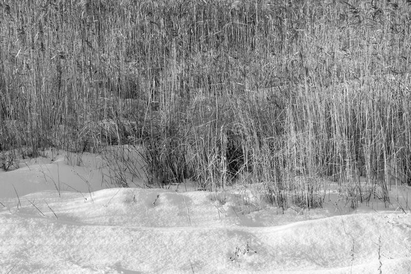 Winter snowdrifts of snow and old dry reed. Winter landscape from snowdrifts and an old dry cane and a sedge of monochrome tone royalty free stock photos