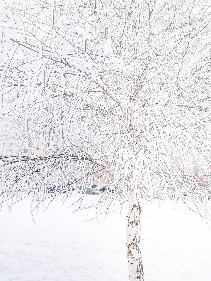 Winter snowy background. Birch tree covered with snow. stock image