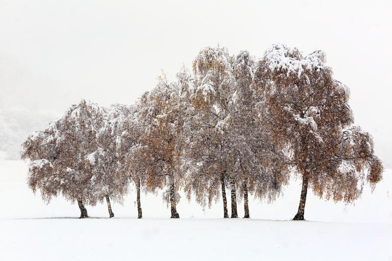 Winter snowy scene with trees under snowfall in winter day. Winter landscape - snowy trees on field under falling snow. Winter snowy scene with trees under stock image