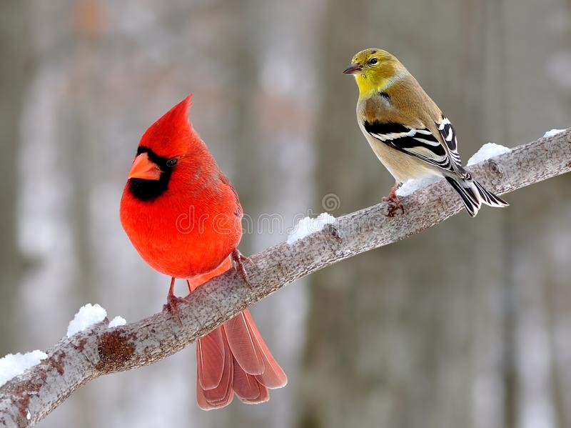 Winter Songbirds. A male Northern Cardinal (Cardinalis cardinalis) and an American Goldfinch (Carduelis tristis) on a snowy winter branch royalty free stock image