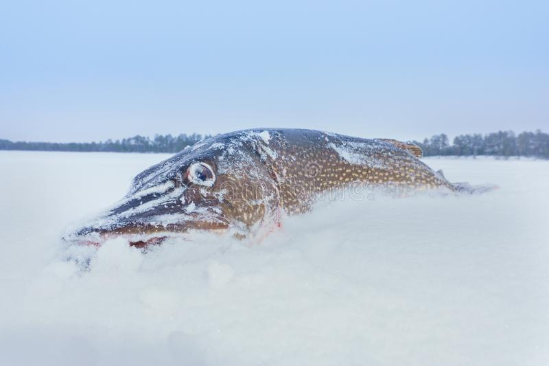 Fish on winter fishing stock photography