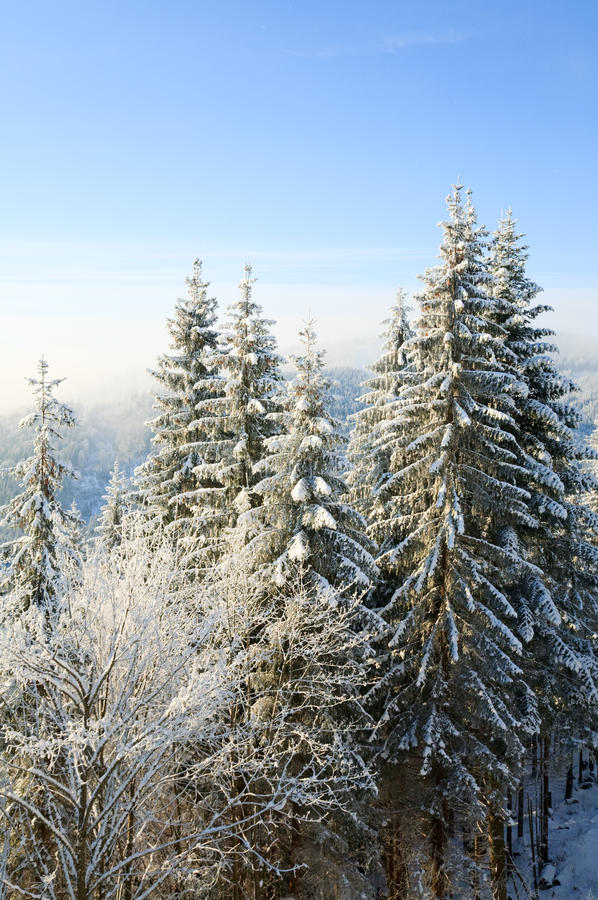 Winter Spruces In Mountain Royalty Free Stock Photos