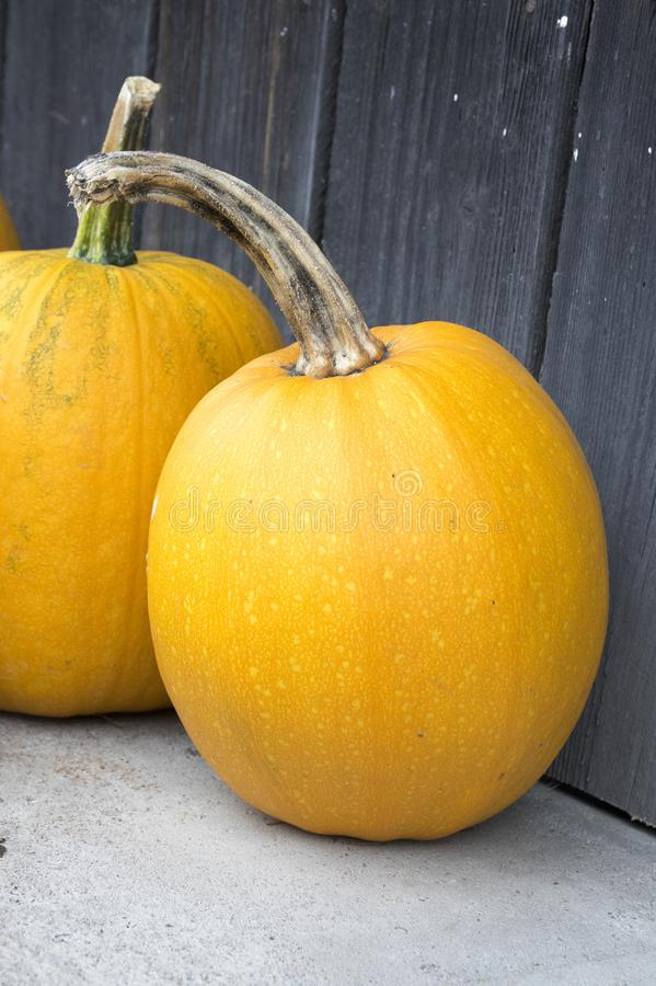 Winter squash, creeping plant, round, oblate, oval shape cucurbita pepo styriaca. Used for Styrian pumpkin seed oil, ready for halloween faces cutting royalty free stock image