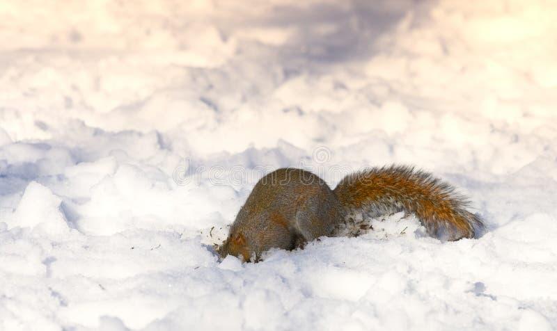 Winter squirrel royalty free stock photos
