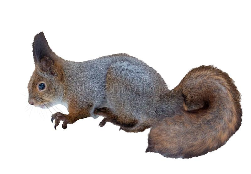 Winter squirrel isolated on white. Background stock images