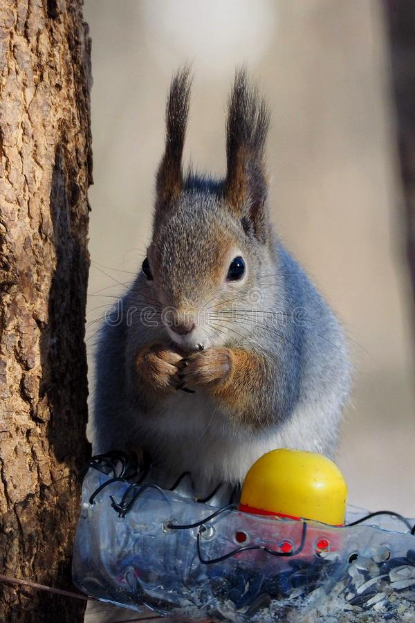 Winter squirrel.Long ears. royalty free stock images