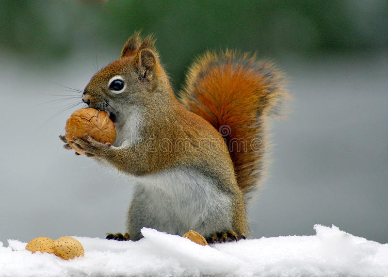 Winter Squirrel stock images