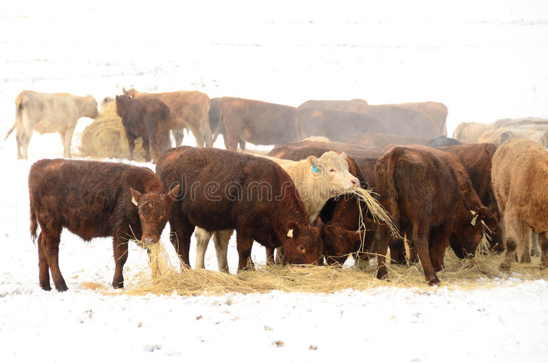 Winter Steers. Beef rancher feeding his cattle during a winter storm in the Umpqua Valley near Roseburg Oregon royalty free stock images