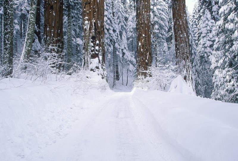 Winter-Straße im Mammutbaum-Nationalpark lizenzfreie stockbilder
