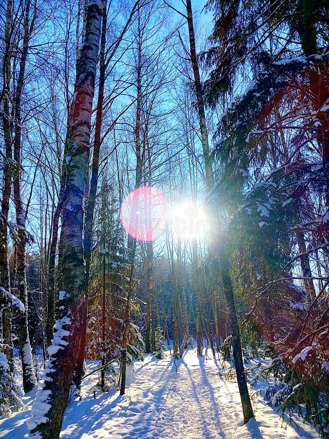 Winter sunny forest stock photography