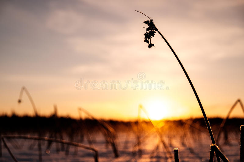 Winter sunset on the lake. With dry bushes on frozen lake stock image