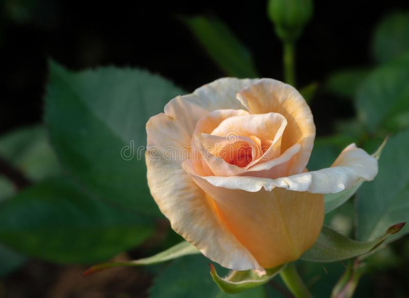 `Winter Sunset` rose beginning to bloom. Peach bud of `Winter Sunset` rose begins to open against a background of dark green leaves royalty free stock images