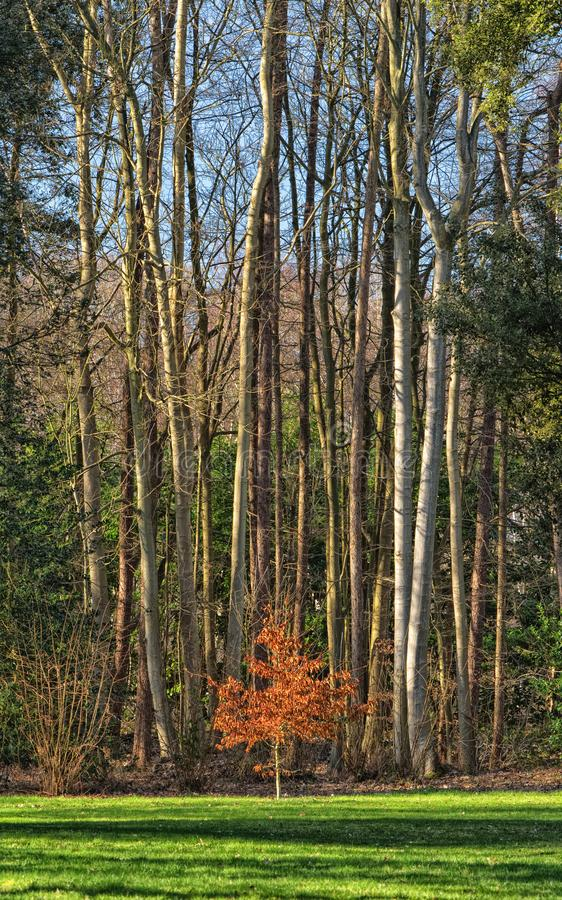Small beech tree with copse of large trees behind. Winter sunshine finds a small beech tree ( fagus ) still with striking autumnal leaves in February stock photos