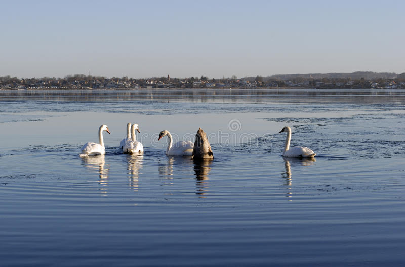 Winter swans stock image