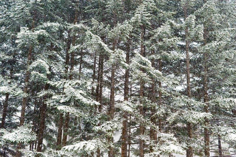 Winter taiga Wald unter Schneefallhintergrund lizenzfreie stockfotos